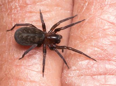 Amaurobiid spider