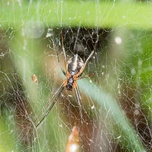 A linyphiid, pretty sure it's Frontinella communis, the Bowl & Doily Spider