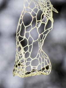 Ramalina menziesii, Lace Lichen