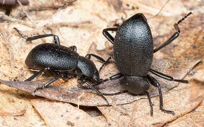 Tenebrionids (darkling beetles) from beneath a log;  one is adopting the typical defensive posture