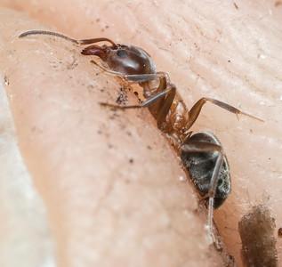 Liometopum occidentale, the Velvety Tree Ant.