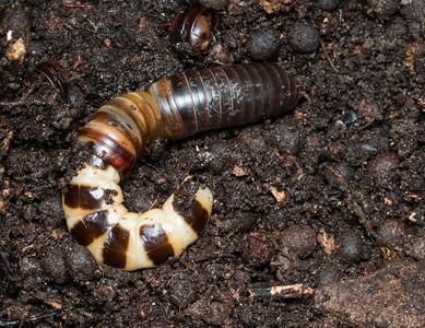Female phengodid (glowworm beetle) feeding on (in) a millipede