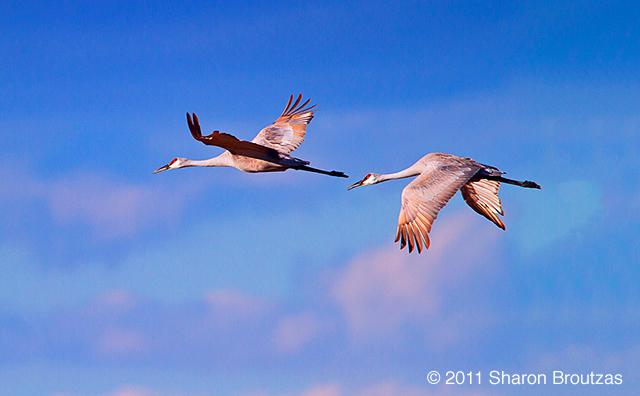 Sandhill Cranes, Horicon Marsh, WI.  Copyright © 2011 Sharon Broutzas