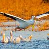 American White Pelicans, Horicon Marsh, WI. Copyright © 2011 Sharon K. Broutzas