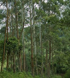 Quebradas, Costa Rica June 2013 Walk in the neighbourhood. Rainbow Eucalyptus – Nature's Painted Tree.