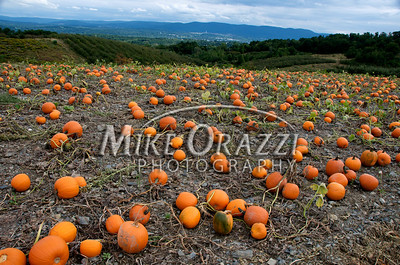 Pumpkins at Lawrence Farms Orchards in New York with a view of the Hudson River Valley in the distance. These guys have a great spot.