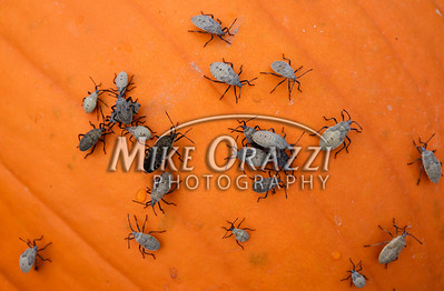 Squash bugs on a pumpkin at Lawrence Farms Orchards in New York. I have these bugs they wiped out a good deal of my garden too.