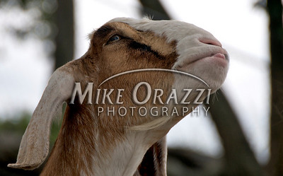 A goat at Lawrence Farms Orchards in New York.