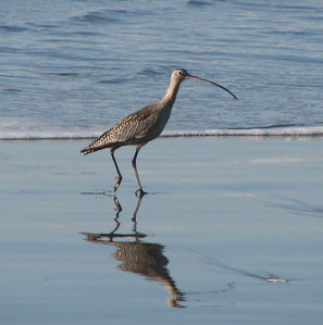 Long-billed curlew on the Mad River Beach.  This great bird allowed the dog and I to sit still to allow a quick snap.