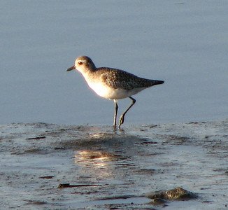 black-bellied plover, Elk River,  Humboldt County, CA