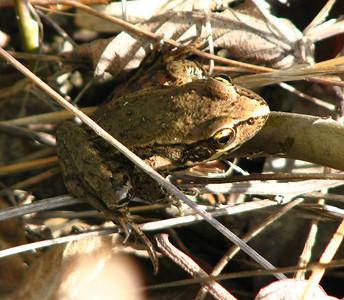 red-legged frog