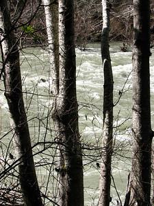 alder trees along the swollen Van Duzen River