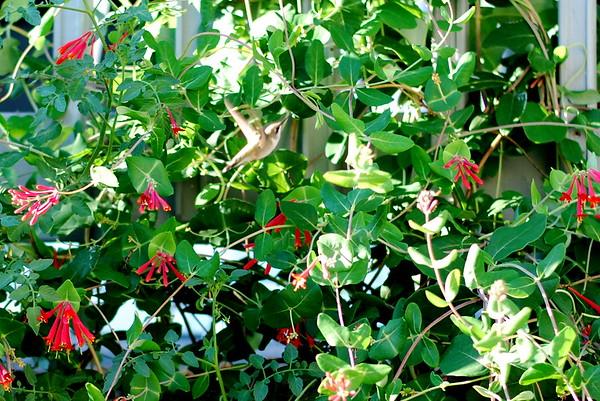 Hummingbird flying away.