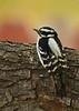 Downy Woodpecker (Picoides pubescens) - female