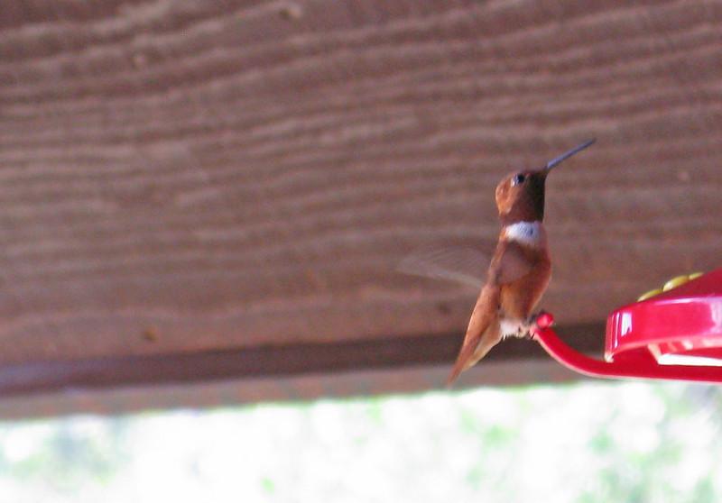 Rufous Hummingbird (Selasphorus rufus) - adult male