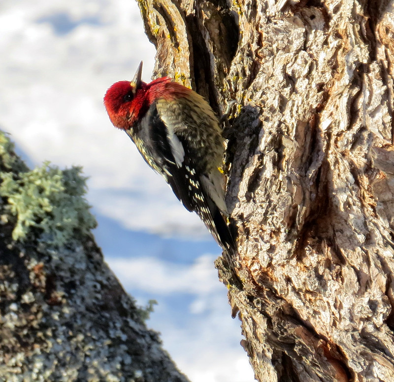 Red-breasted Sapsucker (Sphyrapicus ruber) - male
