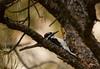 Hairy Woodpecker (Picoides villosus) - male