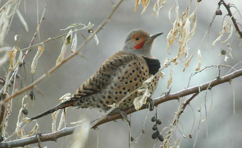 Northern Flicker (Colaptes auratus) - male