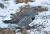 Northern Flicker (Colaptes auratus) - female