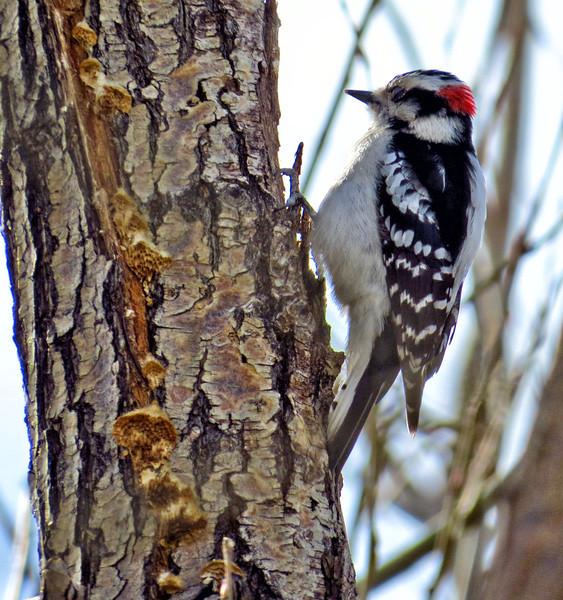 Downy Woodpecker (Picoides pubescens) - male