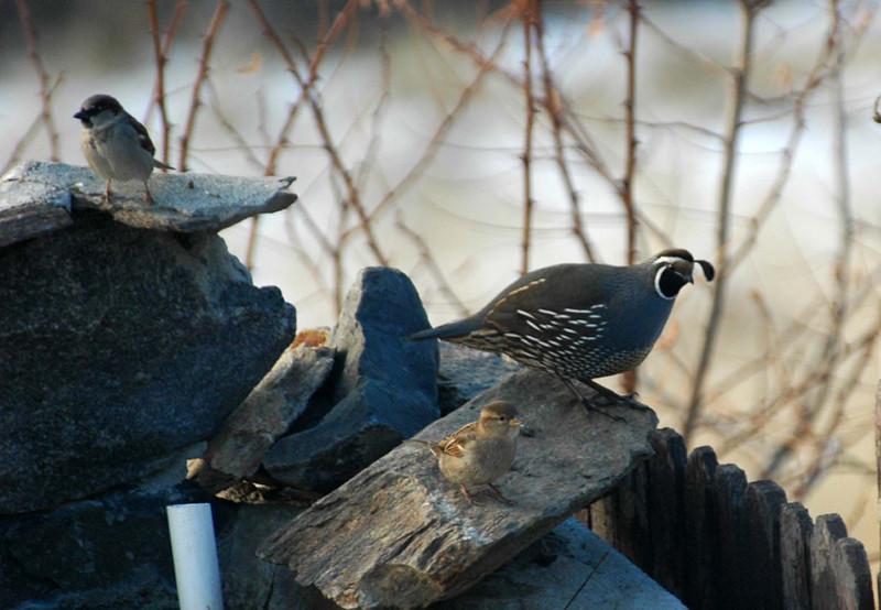 California quail (Callipepla californica) - male