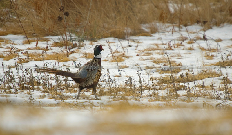 Ring-necked Pheasant  (Phasianus colchicus) - male