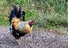 Red Jungle Fowl (Gallus gallus) - male
