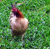 Red Jungle Fowl (Gallus gallus) - female