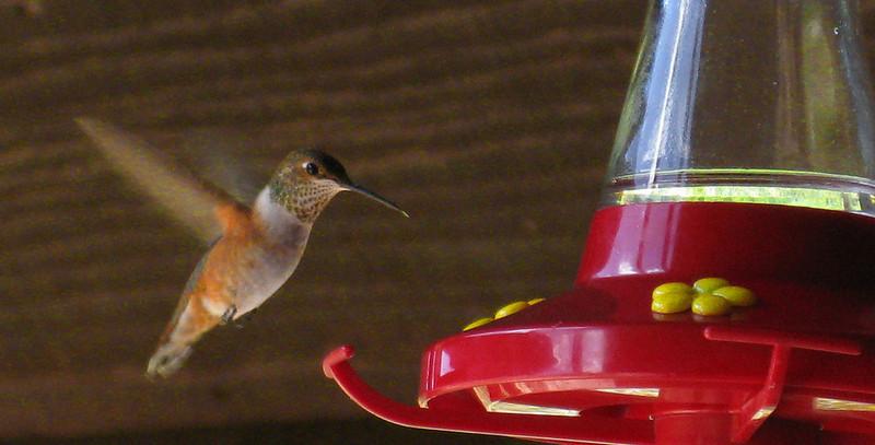 Rufous Hummingbird (Selasphorus rufus) - female