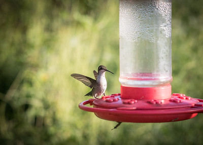 Hummers Sept 2018