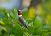 Meet Burt.  Obviously a Ruby Throated Hummingbird, posing.