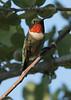 Rubythroat Hummingbird in morning sun