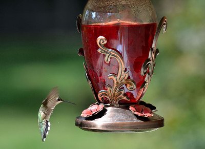 Humming Bird....... looks like a tear from its eye.