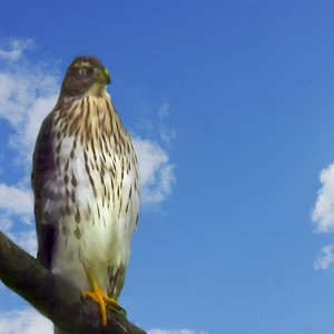 hawk was born on our farm and they posed for me one morning outside kitchen window . on this picture i put that sky there in photoshop .
