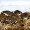 baby birds in carport nest occupied yearly