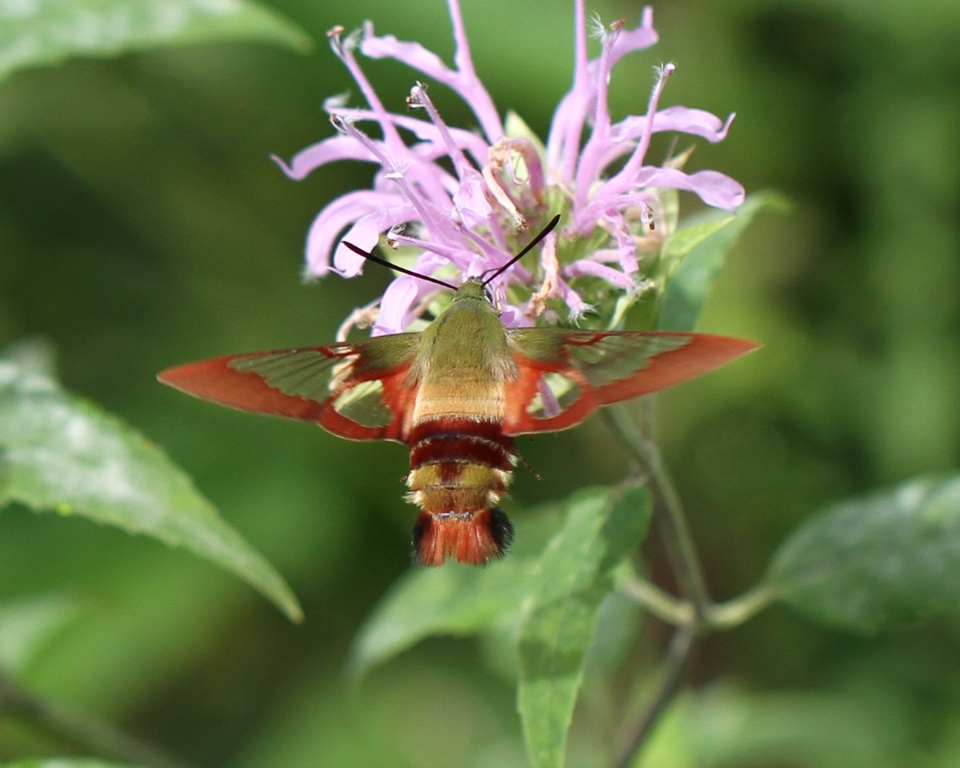 Hummingbird Clearwing Moth<br /> Monarda plant<br /> Trempealeau County...Canon 7D, Canon 100mm macro lens