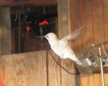 Hummingbird - June 2012