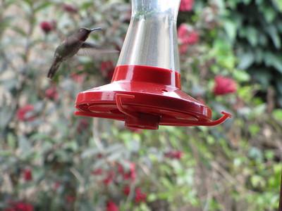 Hummingbird (May 16, 2011)