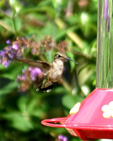 Hummingbird @ Middlecreek