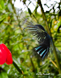 Hummingbirds frpm the Caribbean and Costa Rica