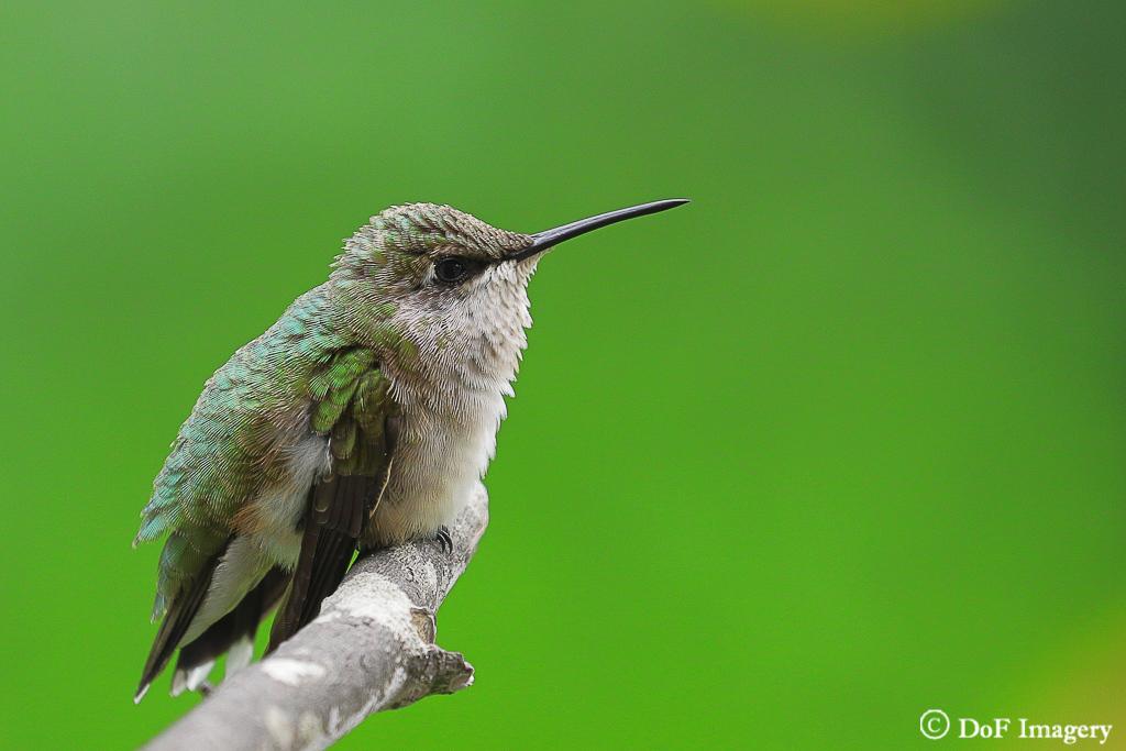 IMAGE: https://photos.smugmug.com/Nature/Hummingbird/i-TQmRNK6/0/10bbaeae/XL/IMG_1338-XL.jpg