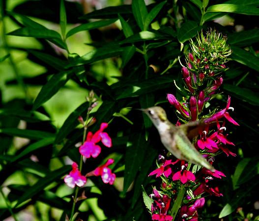 hummingbirds 2006