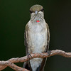 Juvenile male Ruby-throated Hummingbird with his first red feather