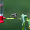 Sometimes the Hummingbirds do not follow the script.