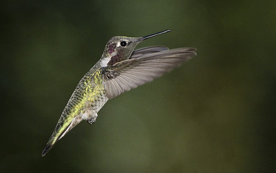 Hummingbirds-20120923