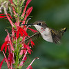 Hummingbird and Cardinal Flower composite with Photokey
