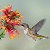 Hummingbird and Blanket Flower composite with Photokey