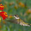 Hummingbird and Lantana composite
