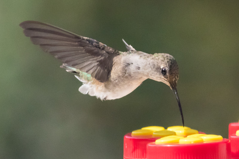 Hummingbird-9852
