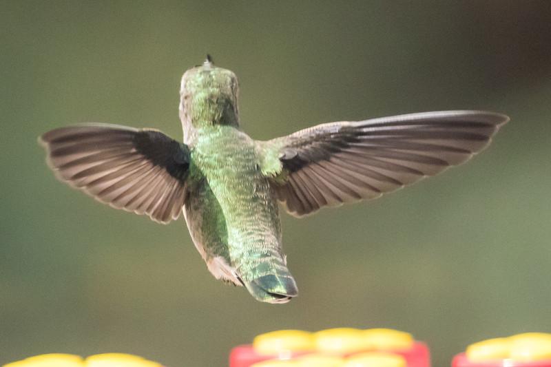 Hummingbird-9877